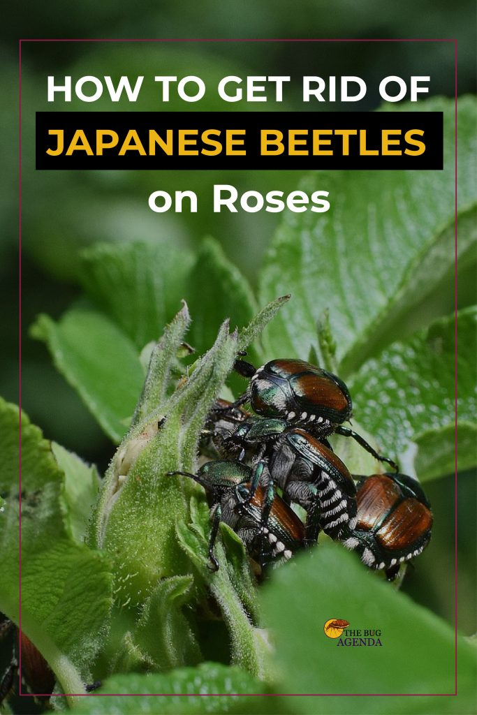 how to get rid of Japanese beetles on roses Pinterest design