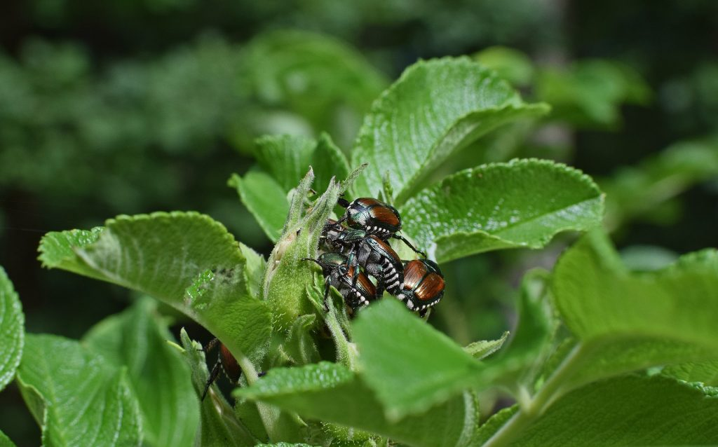 Japanese beetles mating on foliage