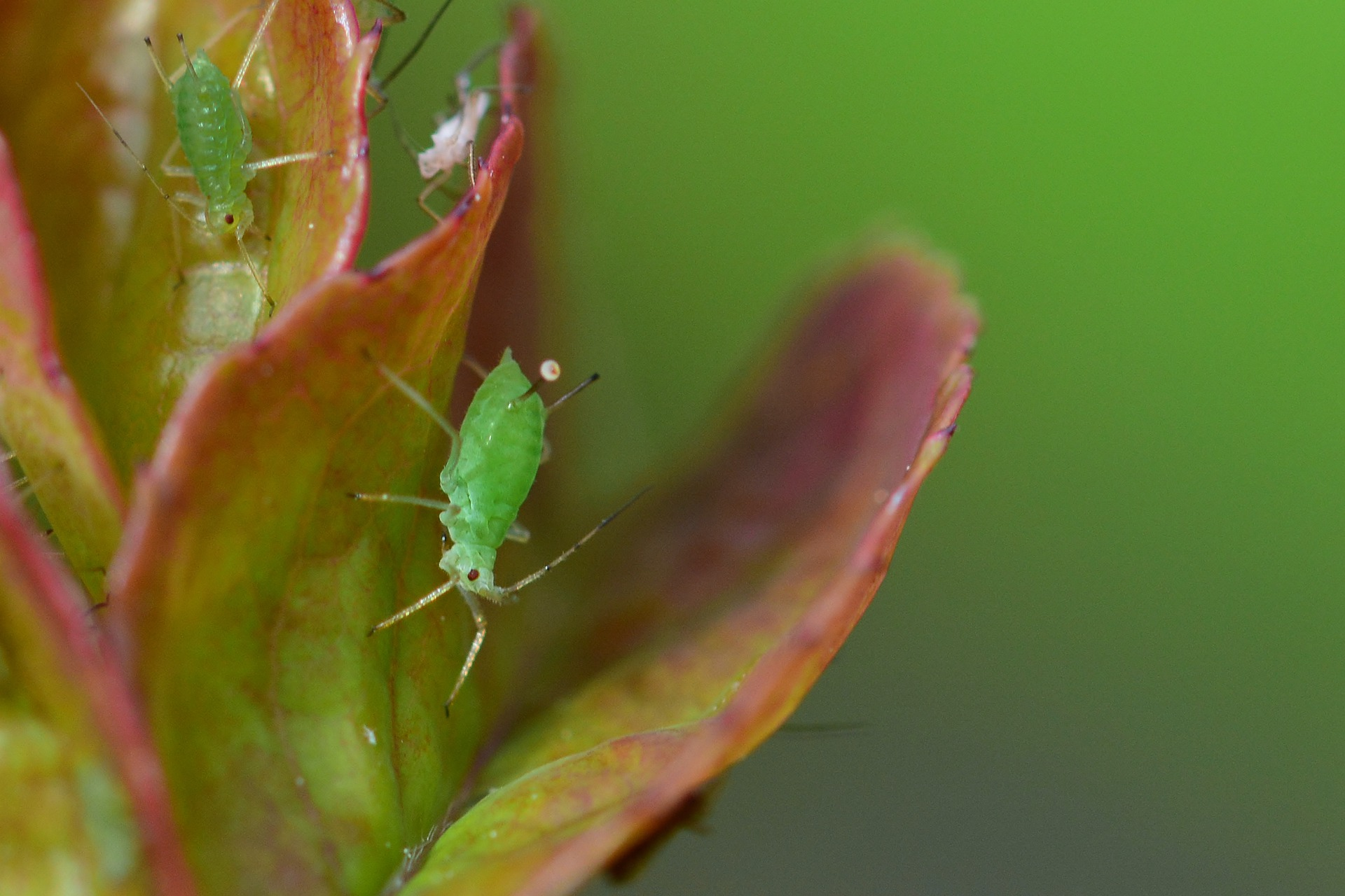 Aphids on a rose - organic aphid control