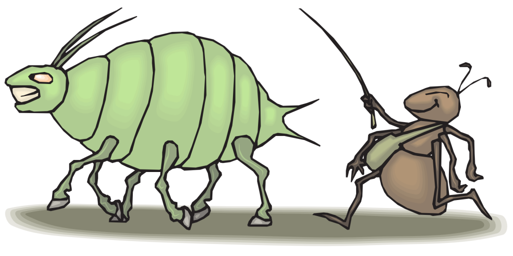 An aphid attended by an ant